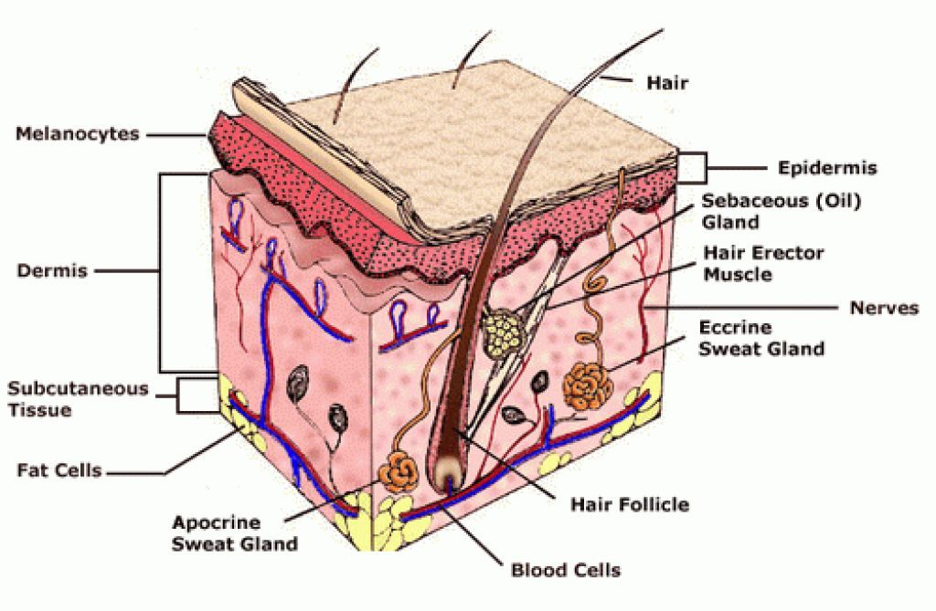 Skin Layers Diagram Labeled Simple Poulan Wild Thing Fuel Line Cell Wiring All Data Image Result For Human School Healthy Structure