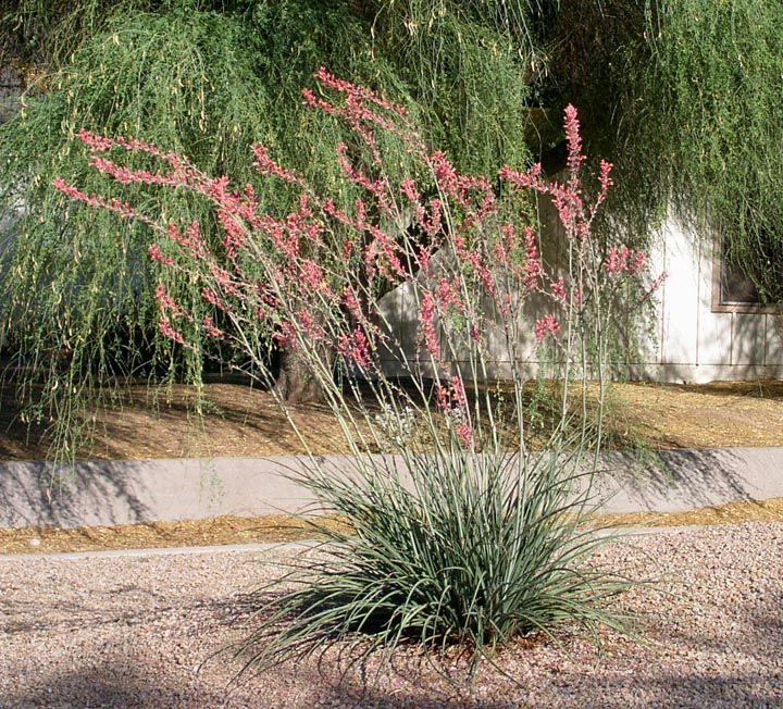 Hesperaloe parviflora. Red Yucca. Chihuahuan native, agave-like, evergreen perennial . Good hummingbird flowers. Needs well drained soils. Good container plant. Cold hardy to -20 degrees. Yellow flowering varieties are available. Blooms best in full sun. Full sun/part shade. Slow/moderate grower.