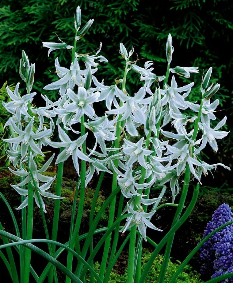 Ornithogalum Nutans Silver Bells Bulb Flowers Spring Flowering Bulbs Perfect Plants
