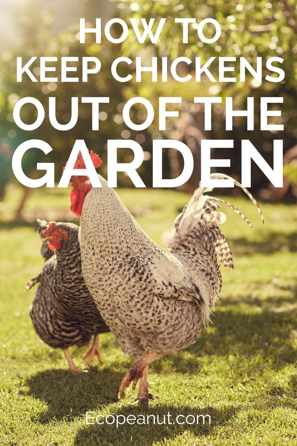 How To Keep Chickens Out Of The Garden | Chickens and Poultry ...