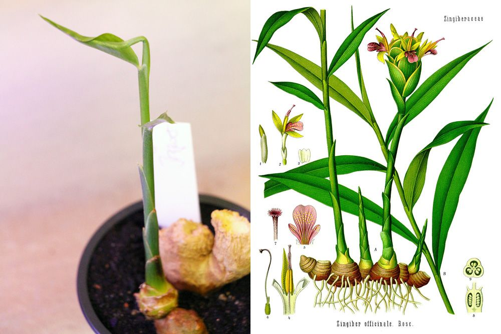 Ingwer anbauen - so ziehen Sie Ingwerpflanzen selber #orchideenpflege