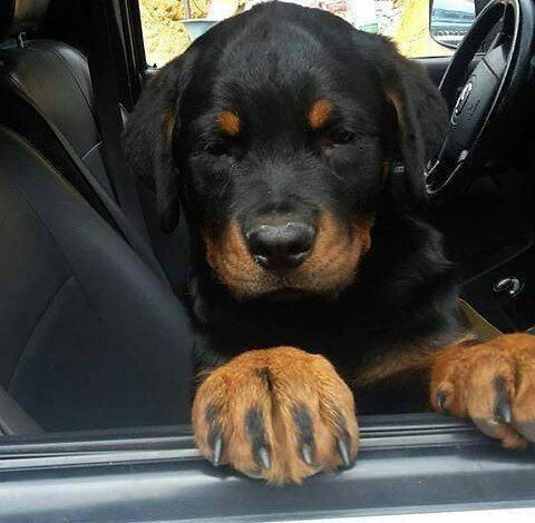 All About The Confident Rottweiler Puppies Grooming Rottweiler Babyrottweiler Rottweilerfacts Rottweiler Puppies Rottweiler Rottweiler Funny