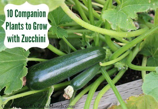 10 Companion Plants to Grow with Zucchini | Plants, Gardens and ...