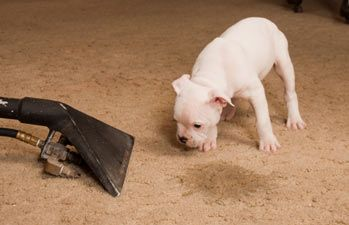 It Is Possible To Clean Even Old Dog Urine From Carpet