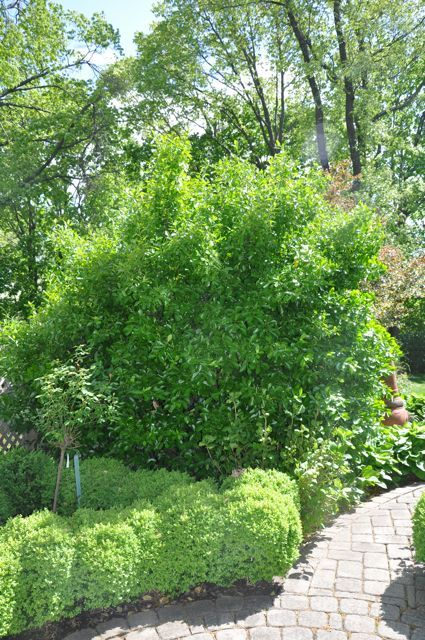 Manhattan Euonymus in distance. An evergreen, perfect for Colorado & great for screening. Photo by DarleneMAM.