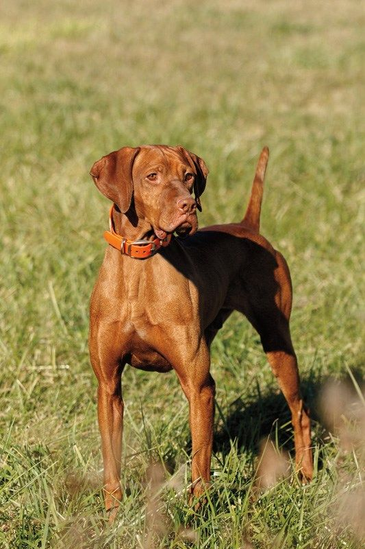 Vizsla Named Driver Wins National Field Trial Purina Pro Club Vizsla Hungarian Dog Hungarian Vizsla