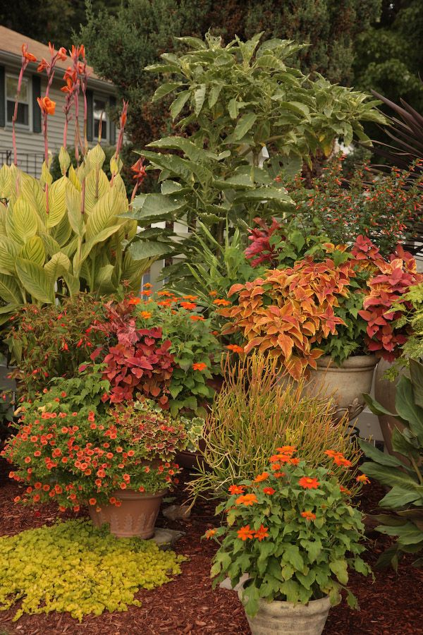 Orange Is In The Garden: Mexican Sunflower, Coleus, Cannas ... Source