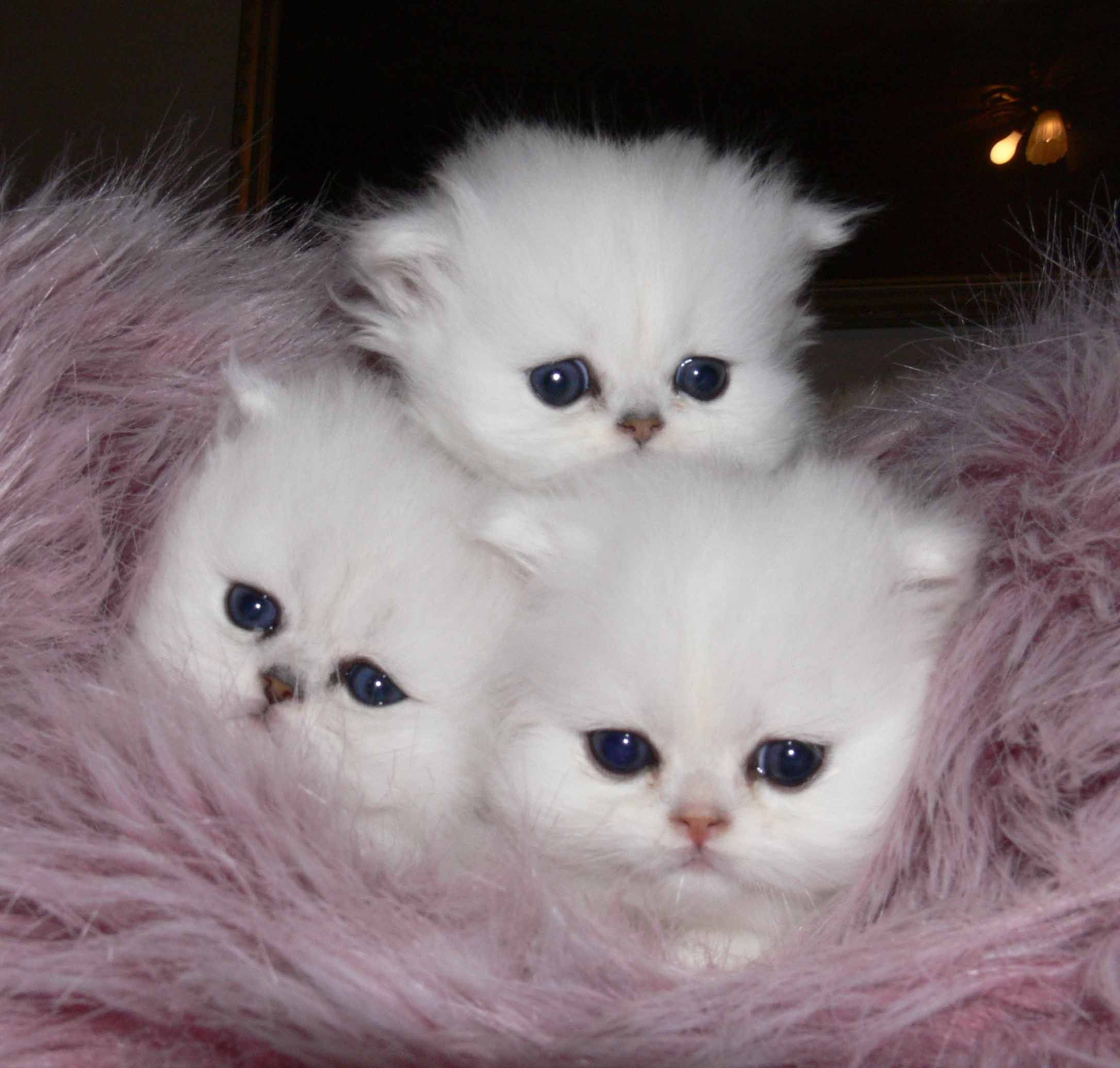 CHINCHILLA PERSIAN BABIES = athena babies april