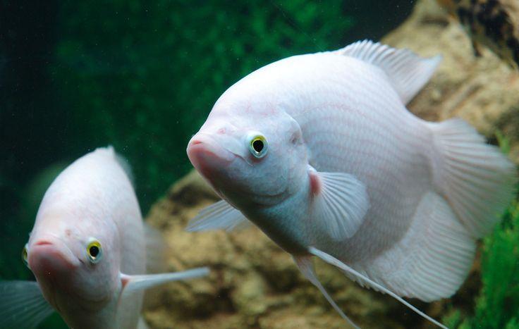 Fish Page 14 Tropical Freshwater Fish Tropical Fish Tanks Fish