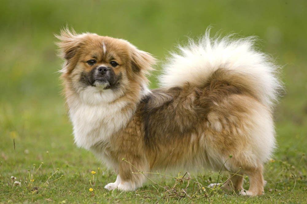 Tibetan Spaniel Tibetan spaniel, Spaniel, Dogs