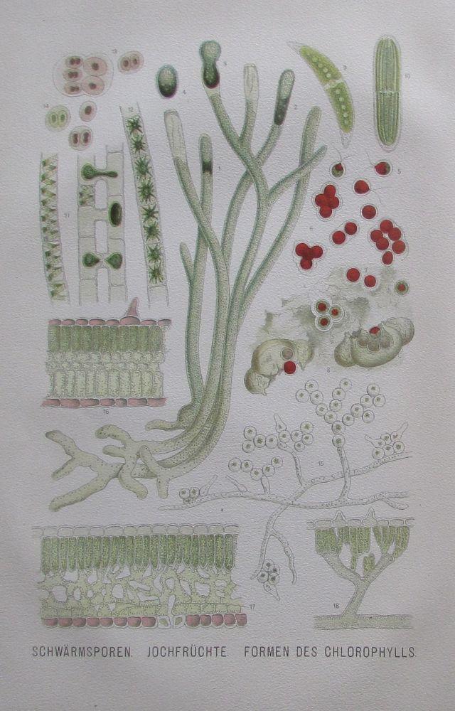 1896 SCHWÄRMSPOREN JOCHFRÜCHTE alter Druck antique Print Lithographie