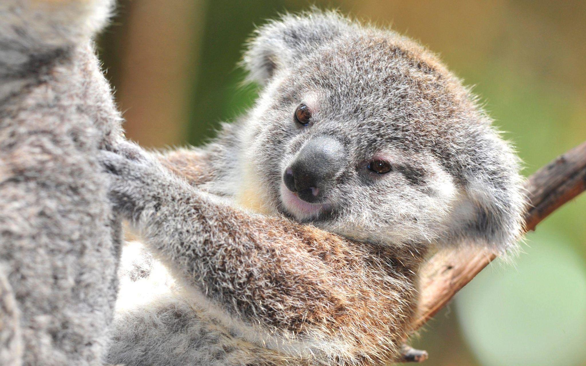 Koala Hd Wallpapers And Backgrounds 41 Http Www Urdunewtrend Com Hd Wallpapers Animal Koala Koala Hd Wallpapers And Background Koala Koala Bear Baby Koala