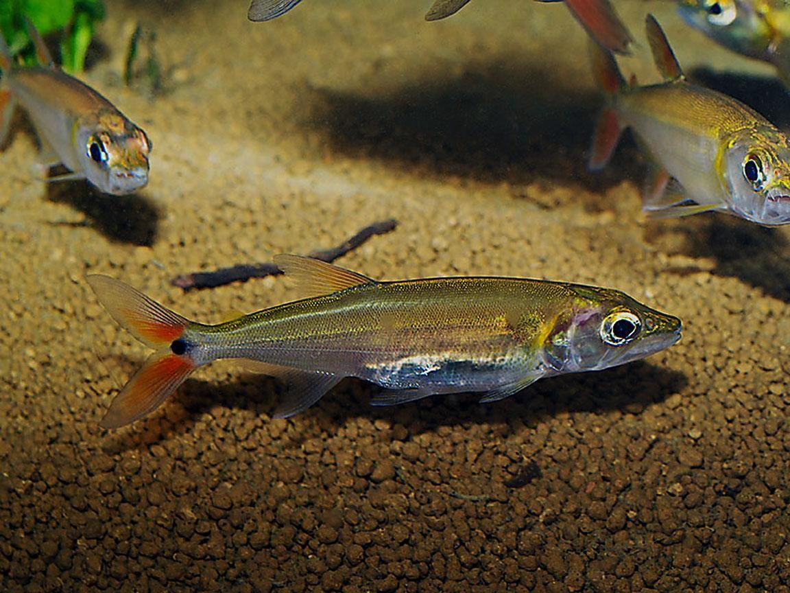 Freshwater fish killers - Acestrorhynchus Falcatus Redtailed Freshwater Barracuda Characin