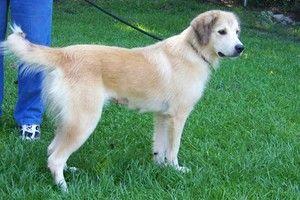 Michelle Is An Adoptable Golden Retriever Dog In Summerville Sc