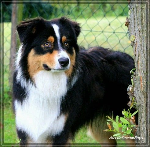 Pin Von Tanja Hennemann Auf Aussi Australian Shepherds Hunde