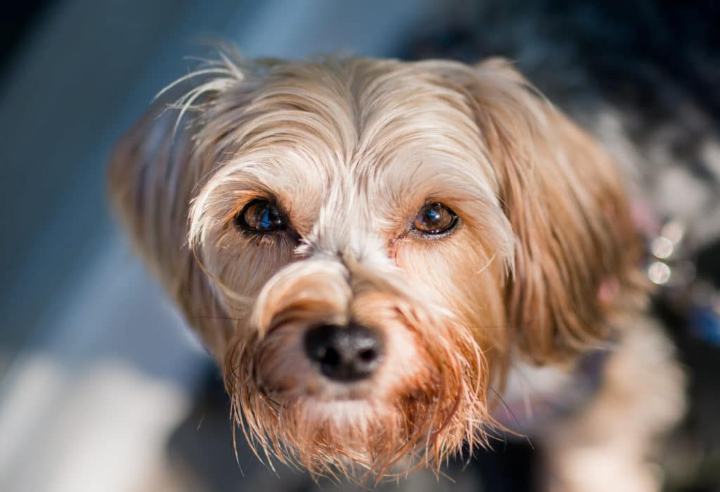 9 best morkie dog foods plus top brands for puppies