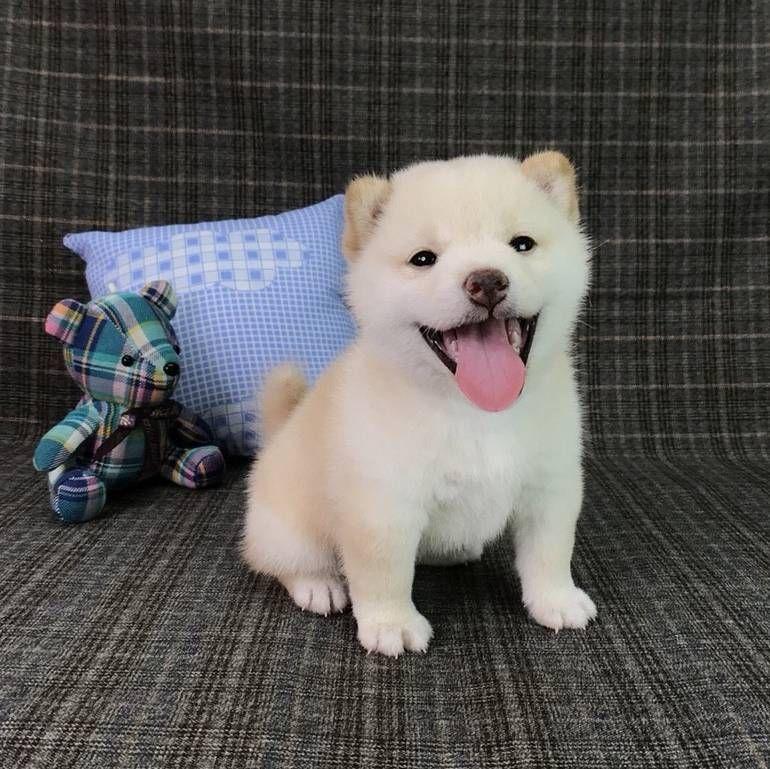 Shiba Inu Puppy For Sale In Seattle Wa Usa Adn 98046 On Puppyfinder Com Gender Female Age 7 Weeks Old Shiba Inu Puppy Super Cute Puppies Puppies For Sale