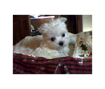 Dogs For Sale In Woodbridge New Jersey Maltese Puppy Tiny Puppies Puppy Adoption