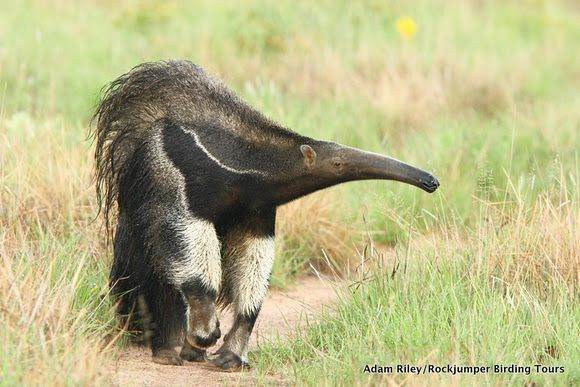 Giant Anteater (Myrmecophaga tridactyla), Upper Demerara-Berbice, Guyana