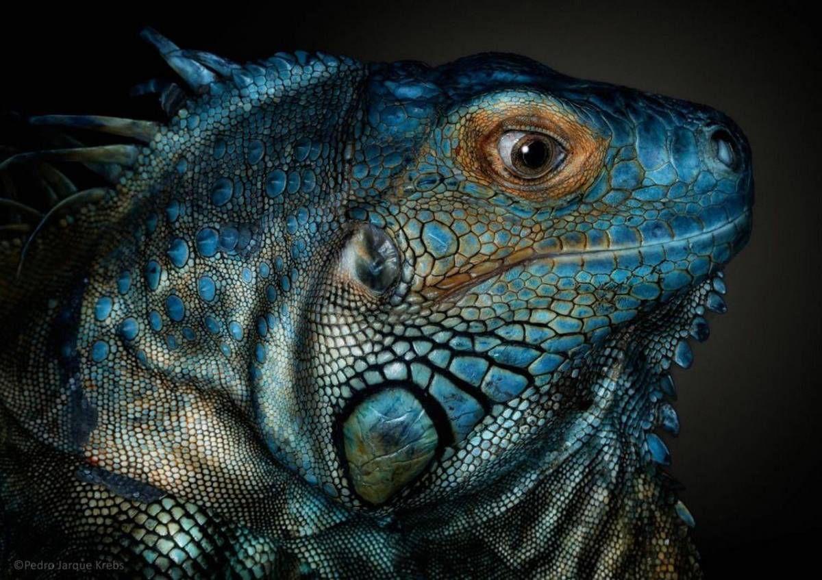 Spectacular Portraits of Wild Animals by Pedro Jarque, http://photovide.com/wild-animals-pedro-jarque/