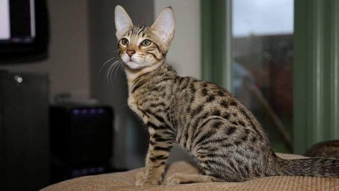 Us Virgin Islands Golden F4 Savannah Kitten For Sale Contact Loot Hearus H O T M A I Savannah Kitten Cats And Kittens Savannah Cat