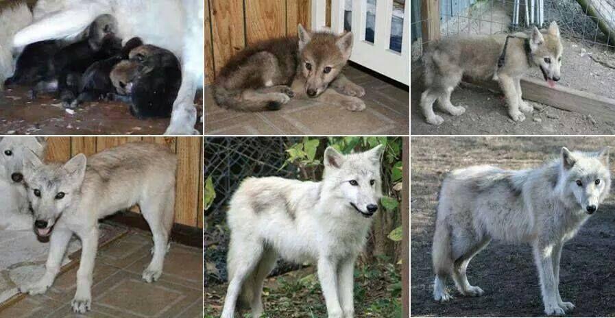 Phasing of a high content wolfdog.   Wolfdog Education ...