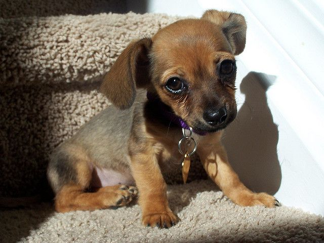 Chiweenie My Roxy Is A Chiweenie Beagle Love This Mix Of Dog