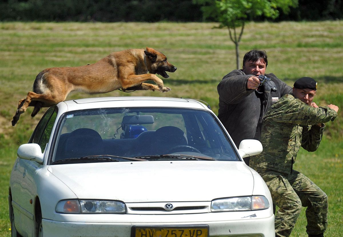 Dogs In The Army Read First Post Page 84 Military Working Dogs Malinois Dog Military Dogs