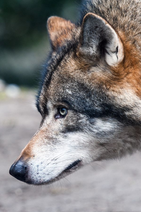 thatwanderinglonewolf