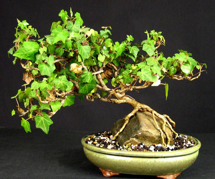 Dwarf English Ivy Bonsai | bonsai boungainvillea citrus bonsai in room dwarf jade bonsai dwarf ...