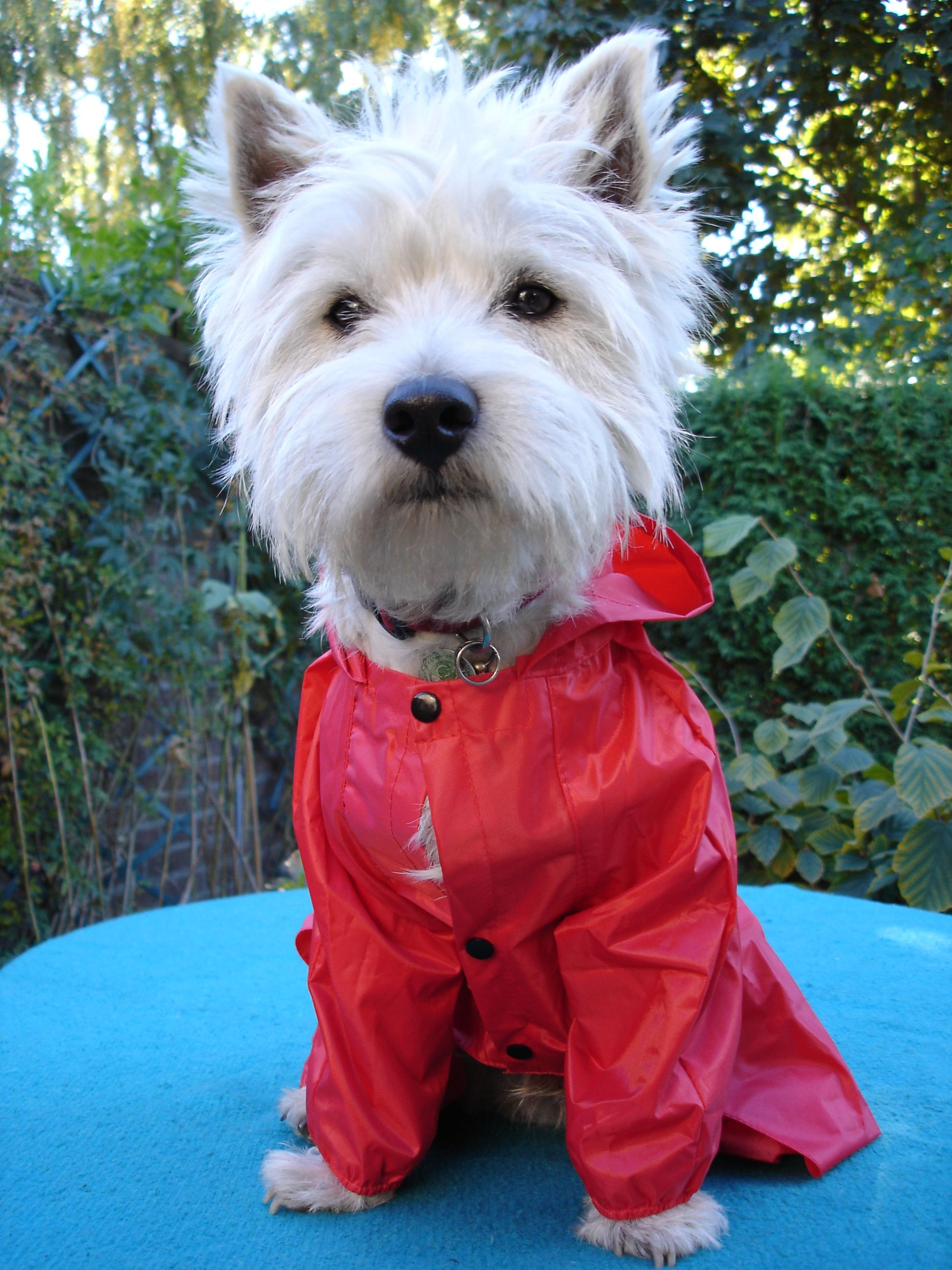 Westy raincoate Westies, West terrier, Terrier dogs