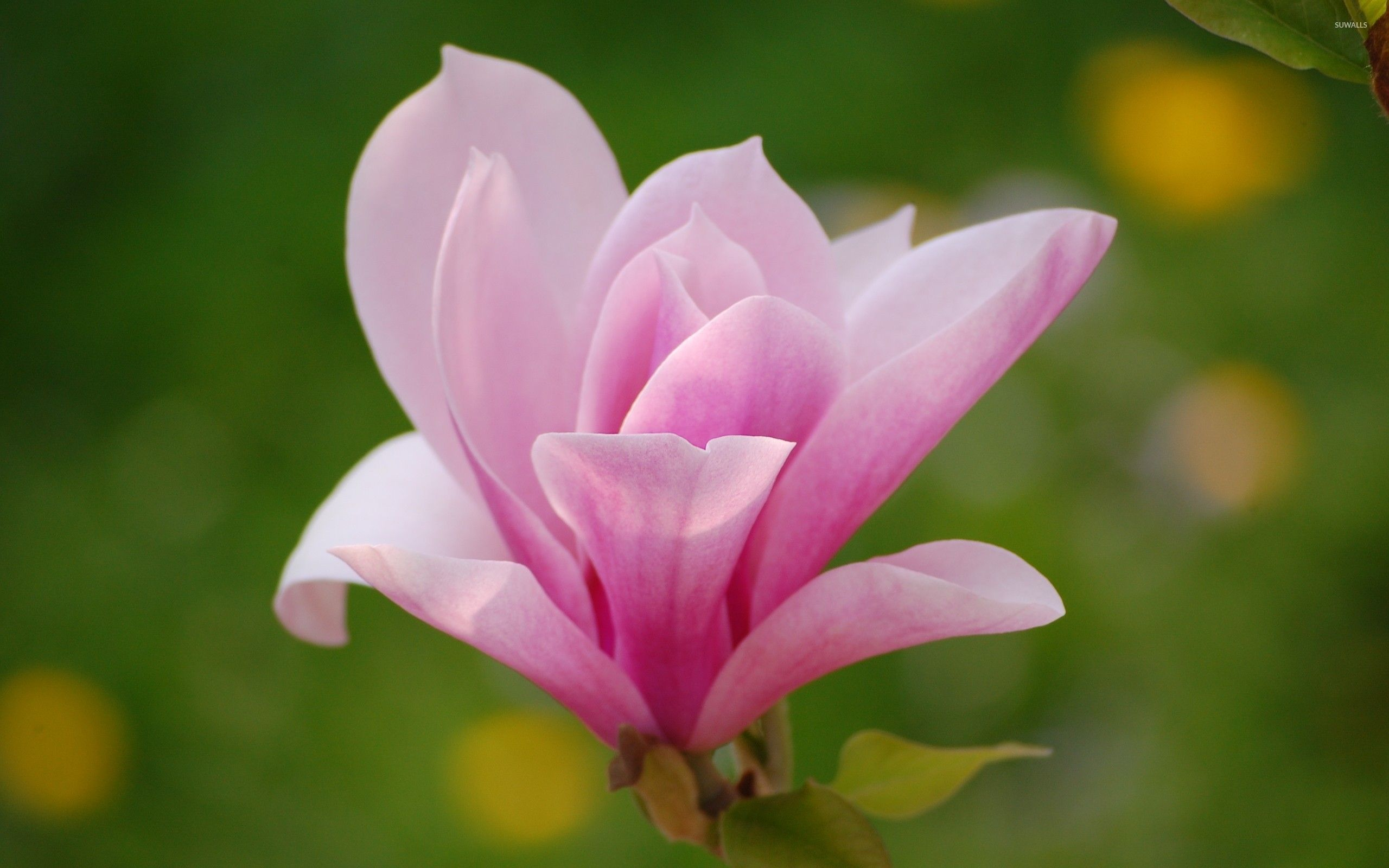 Mulan Magnolia Flower Google Search Magnolia Flower Flowers Beautiful Flowers