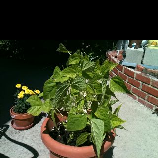 With my limited space, I plant in pots. Green beans grow like weeds.