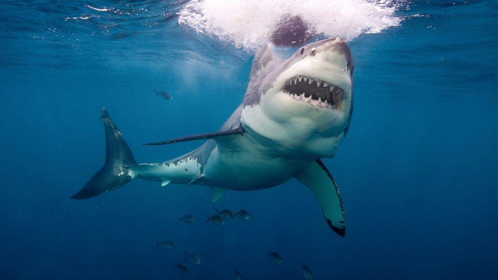Resultado de imagen de shark | PECES - Animal Aquatics - Fish ...