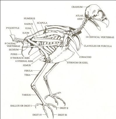 Incredible Red Tailed Hawk Skeleton Animal Anatomy Red Tailed Hawk Hawk Wiring Digital Resources Funapmognl
