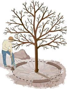 Photo of Root Cure: Ny oppblomstring for gamle frukttrær