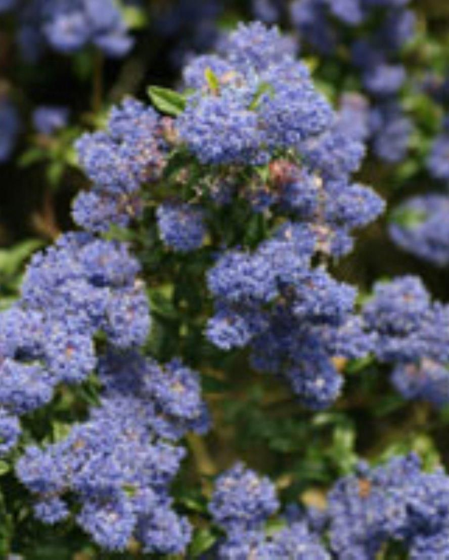 Bushy Compact Evergreen Shrub With Clusters Of Bright Blue Flowers