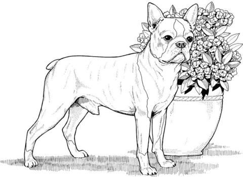 Malvorlagen Von Boston Terrier Ausmalbild Boston Terrier Ausmalbilder Kostenlos Zum Ausdrucken Vorlagen Gambar