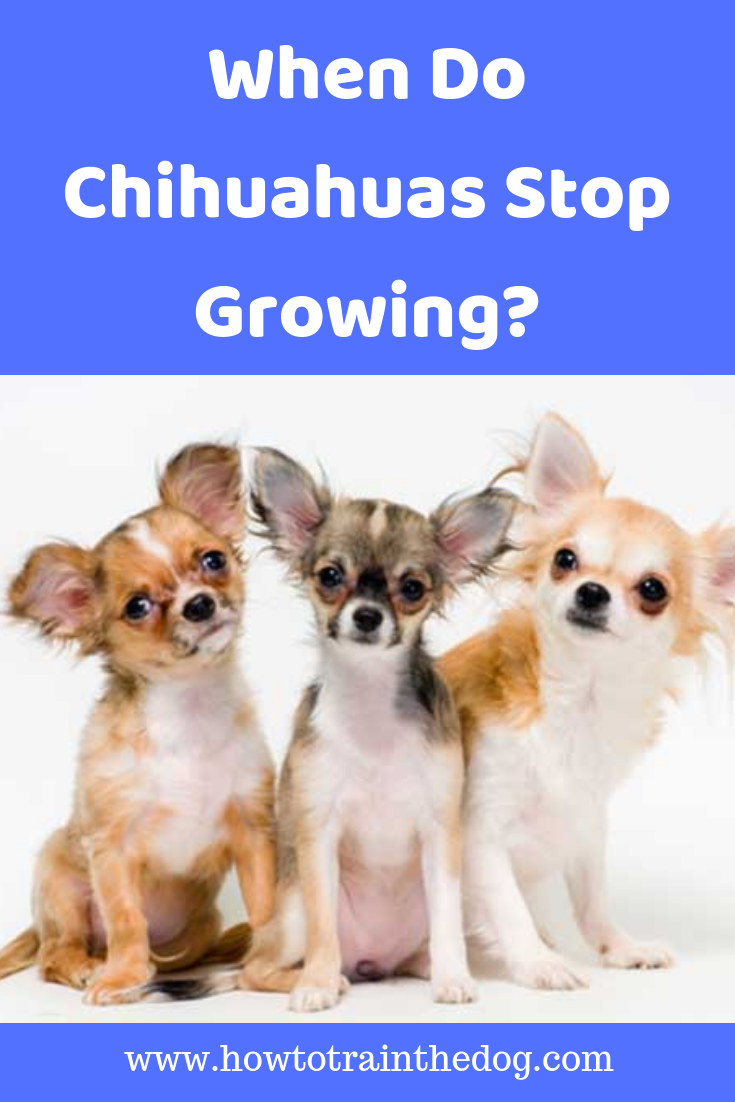 When Do Chihuahuas Stop Growing How To Train Your Dog Chihuahua Chihuahua Dogs Chihuahua Puppies