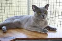 Another Newcastle Burmese Breeder Home Ricway Bengals Burmese Boarding Cattery