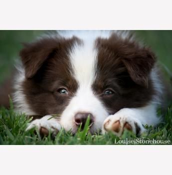 Chocabloc Border Collies Qld Collie Border Collie Breeders