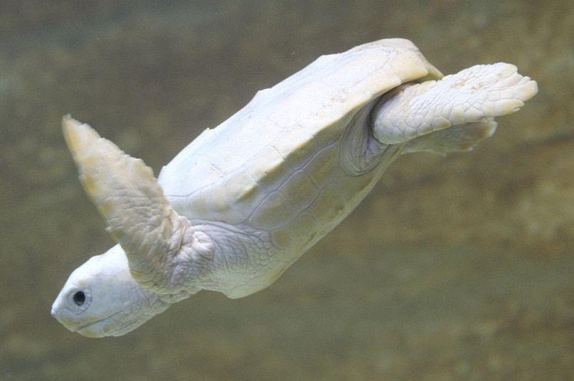La tortuga blanca Su color cremoso está manchado de pequeñas motas rosas.  Su figura es muy importante … | Animales albinos, Bebé tortuga marina,  Animales hermosos