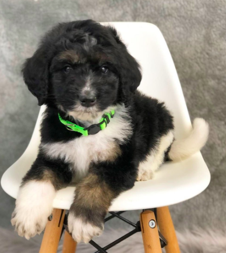 Have You Been Thinking About Adopting A Bernedoodle This Is Your