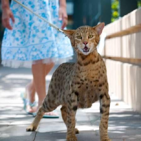 Most Expensive Pet Cat Ashera Royal Cat Ashera Cat Rare Cats
