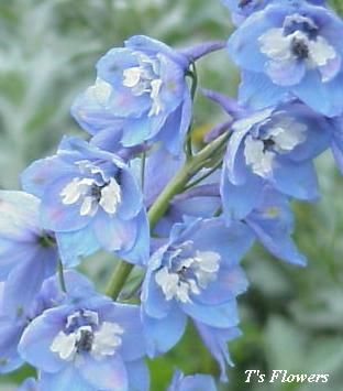 Delphinium Magic Fountains Sky Blue Height 12 To 18 Spread 6 10 Perennial