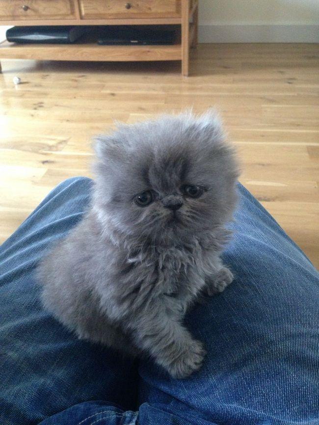 grey blue persian cat persiancatblue Persian kittens