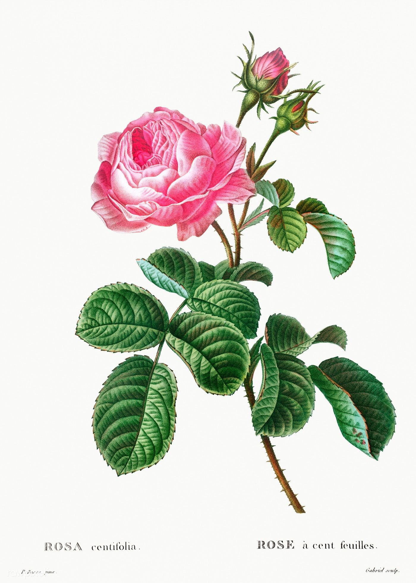 Cabbage rose (Rosa centifolia) from Traité des Arbres et