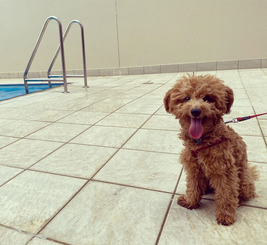 I Am The Pool Guard For The Day Canberra Toypoodle