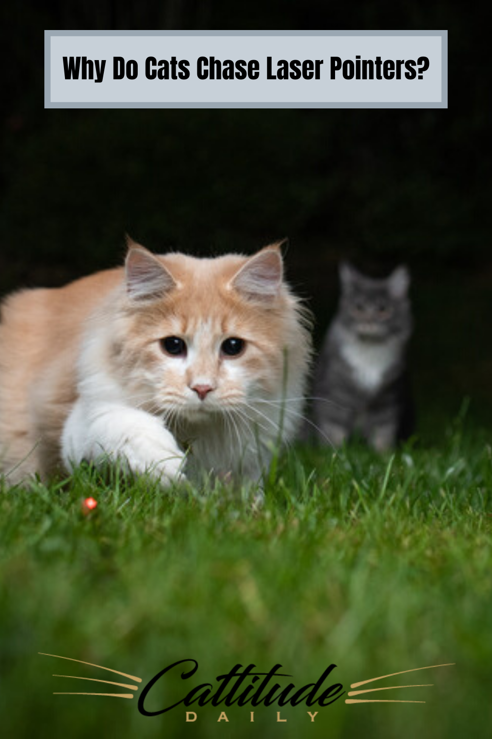 Why Do Cats Chase Laser Pointers In 2020 Cats Cat Facts Cat Behavior