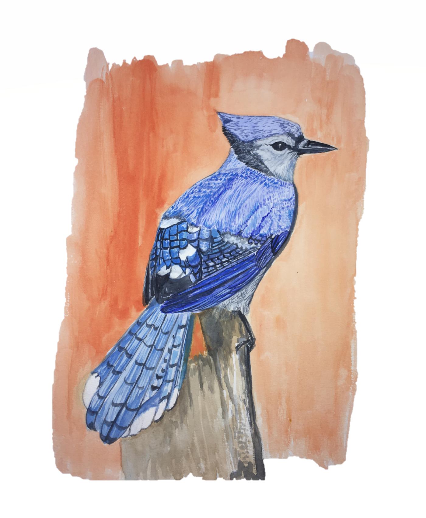 #watercolor #birdillustration #watercolorillustration #bluejay